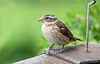 """<div class=""""jaDesc""""> <h4> Female Grosbeak on Top of Feeder - May 2, 2017</h4> <p>She was looking all around before moving down into the feeder.</p> </div>"""
