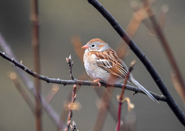 """<div class=""""jaDesc""""> <h4> Field Sparrow Staying Warm - April 11, 2018</h4> <p>When the Field Sparrow started feeling a bit chilly, he shifted to a short chubby posture to conserve body warmth.</p> </div>"""