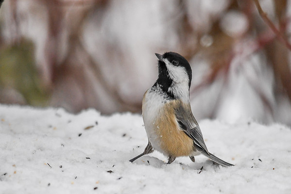 """<div class=""""jaDesc""""> <h4>Chickadee Looking Up - January 16, 2018</h4> <p>There has been a Sharp-shinned Hawk making runs at the feeder area.  This Chickadee is keeping a careful watch as he looks for a sunflower seed.</p> </div>"""