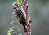 """<div class=""""jaDesc""""> <h4>Juvenile Male Hairy Woodpecker Scanning Backyard - August 21, 2018</h4> <p>This is his favorite dead tree trunk to hang out on.</p></div>"""