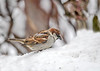 "<div class=""jaDesc""> <h4> Male House Sparrow - Side View - January 1, 2018</h4> <p> The House Sparrows show up when we have a heavy snow.   This male is searching for seed in freshly fallen snow.</p> </div>"