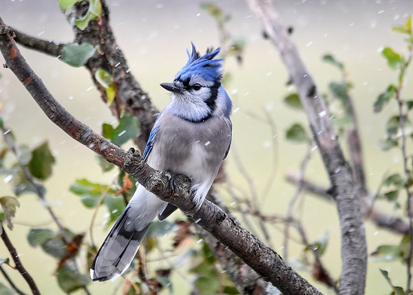 """<div class=""""jaDesc""""> <h4>Blue Jay in Blowing Snow - November 10, 2017</h4> <p>Our first snow of the year did not faze the birds.  This Blue Jay had 30 MPH winds blowing his crest feathers.</p> </div>"""