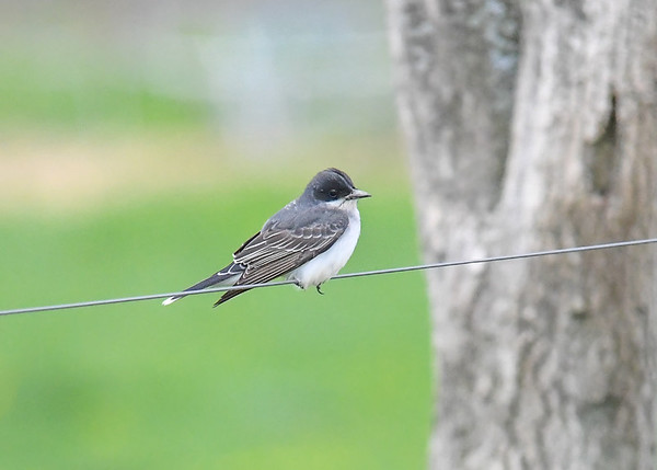 "<div class=""jaDesc""> <h4>Kingbird on Wire - May 7, 2017</h4> <p>It is hard to get a Kingbird shot that is not on a fence wire or electric/telephone wire.</p> </div>"