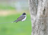 """<div class=""""jaDesc""""> <h4>Kingbird on Wire - May 7, 2017</h4> <p>It is hard to get a Kingbird shot that is not on a fence wire or electric/telephone wire.</p> </div>"""