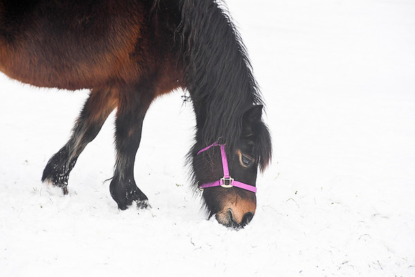 "<div class=""jaDesc""> <h4>Button Sniffing the Snow - February 6, 2018</h4> <p>Button is one of a group of 5 Dartmoor ponies.  I love the eye ring and contrasting face colors. </p></div>"