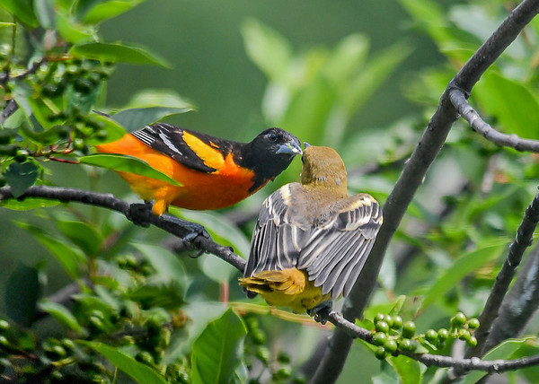 "<div class=""jaDesc""> <h4>Dad Baltimore Oriole Feeding Juvenile - June 22, 2018</h4> <p>The male Oriole is most often the one feeding the youngsters.  The female may be back on the nest on another set of eggs.  </p> </div>"