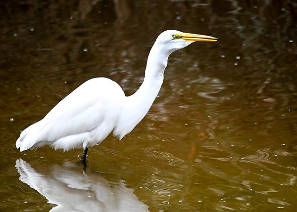 """<div class=""""jaDesc""""> <h4>Great Egret BIG Fish in Throat - October 23, 2017</h4> <p>You can see the outline of the fish in the throat.  One more swallow and it was all the way down. </p> </div>"""
