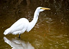 "<div class=""jaDesc""> <h4>Great Egret BIG Fish in Throat - October 23, 2017</h4> <p>You can see the outline of the fish in the throat.  One more swallow and it was all the way down. </p> </div>"
