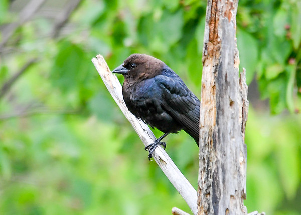 """<div class=""""jaDesc""""> <h4> Male Cowbird on Perch - May 22, 2017</h4> <p> We have 6 male Cowbirds at our place.  When the horses are grazing, the Cowbirds like to ground feed around and under the horses; just like they did with the buffalo out west.</p> </div>"""