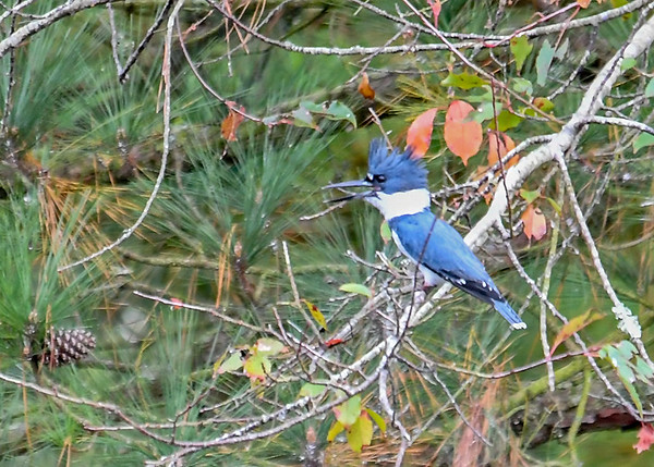 """<div class=""""jaDesc""""> <h4>Male Kingfisher in Tree - October 23, 2017 </h4> <p>He flew down from the wire to a tree branch hanging over a stream.  In the sunlight he is his true blue; still keeping a good distance from me.</p> </div>"""