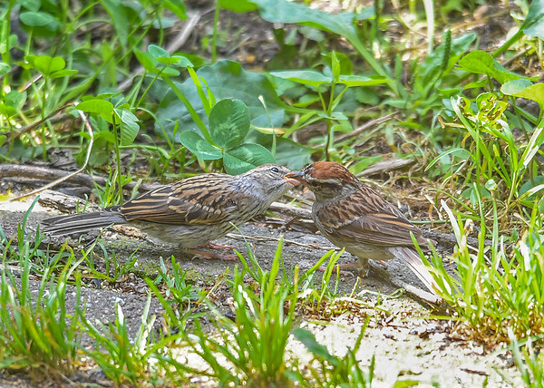 """<div class=""""jaDesc""""> <h4>Juvenile Chipping Sparrow Getting More Seed - August 27, 2018</h4> <p></p> </div>"""