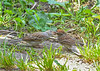 "<div class=""jaDesc""> <h4>Juvenile Chipping Sparrow Getting More Seed - August 27, 2018</h4> <p></p> </div>"