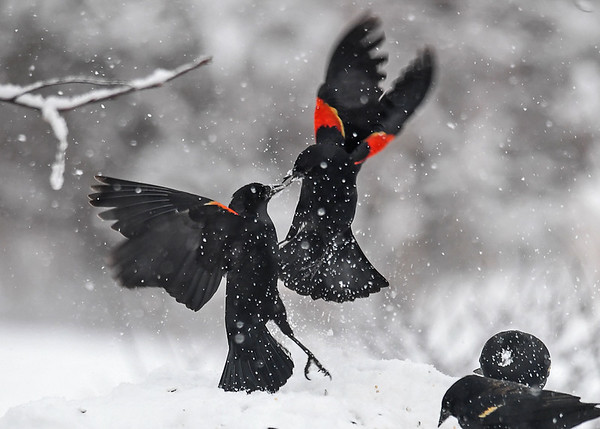 """<div class=""""jaDesc""""> <h4>Red-winged Blackbirds - Airborne Beak Fight - March 2, 2018</h4> <p>The male on the feeder took immediate exception to the intruder male.  They engaged in an airborne beak fight. </p></div>"""