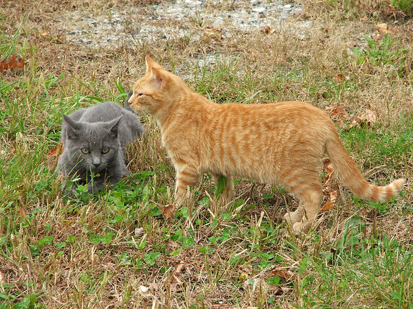 """<div class=""""jaDesc""""> <h4> Toffee and Scarlett in Grass - October 28, 2017 </h4> <p>Toffee and Scarlett are about 5 months old.  My sister-in-law sent me these updates.</p> </div>"""