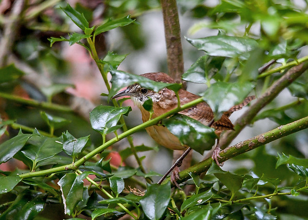 """<div class=""""jaDesc""""> <h4> Adult Carolina Wren in Holly Bush - September 9, 2017 </h4> <p> This adult Carolina Wren was hopping around in a holly bush picking bugs off the leaves.</p> </div>"""