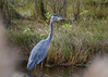 "<div class=""jaDesc""> <h4> Great Blue Heron Fishing in Stream - October 23, 2017 </h4> <p>A Great Blue Heron has a fishing spot staked out about every 100 yards along this stream in Chincoteague Wildlife Reserve, VA.  If another bird tries to land nearby, loud squawking begins.</p> </div>"
