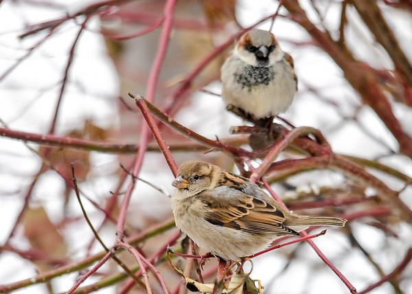 """<div class=""""jaDesc""""> <h4> Female House Sparrow - Side View - January 1, 2018</h4> <p> When the House Sparrows are taking a break from eating, they hang out in our red-twig dogwood bush.</p> </div>"""