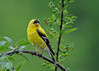 """<div class=""""jaDesc""""> <h4>Male Goldfinch in Rain - June 8, 2016</h4> <p>This male who is in his full summer plumage got drenched in an afternoon shower.</p></div>"""