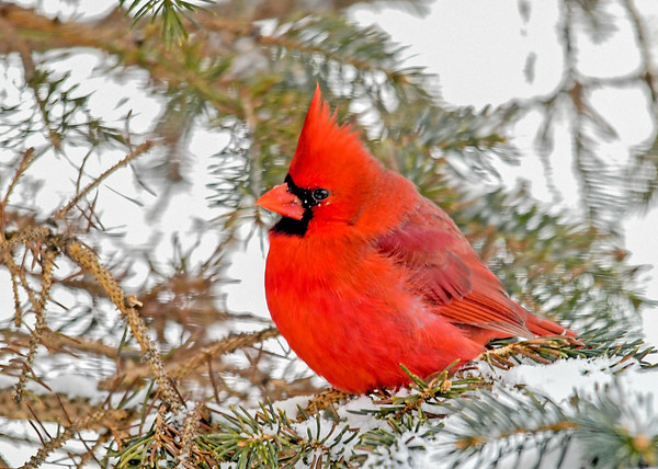 """<div class=""""jaDesc""""> <h4>Male Cardinal in Spruce Tree - January 30, 2019</h4> <p>Three male Cardinals were vying for our yard as their breeding territory.  This one won and chased the other two out. </p> </div>"""