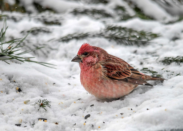 """<div class=""""jaDesc""""> <h4>Male Purple Finch Feeding in Snow - December 28, 2017</h4> <p>The Male Purple Finch hopped down into the snow to look for white millet seeds.</p></div>"""