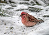 "<div class=""jaDesc""> <h4>Male Purple Finch Feeding in Snow - December 28, 2017</h4> <p>The Male Purple Finch hopped down into the snow to look for white millet seeds.</p></div>"