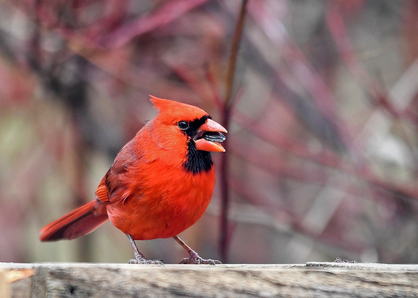 """<div class=""""jaDesc""""> <h4>Male Cardinal in Breeding Plumage - April 8, 2018</h4> <p>This is as bright as he gets during the year.  He has his crest tucked back because he is feeling safe, it goes up when he is on alert.</p> </div>"""
