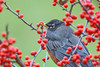 """<div class=""""jaDesc""""> <h4>Robin in Winterberry Bush - November 19, 2017</h4> <p>We have one Robin still hanging around.  I think he missed the flocks going south.  He has been feeding on Winterberries in our yard.</p> </div>"""