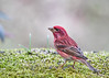 "<div class=""jaDesc""> <h4>Purple Finch - 1st of Year - April 16, 2017</h4> <p>This handsome male Purple Finch is the first one to arrive this year.  We usually have 3 pairs of them during the spring and summer.</p></div>"