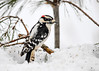 "<div class=""jaDesc""> <h4> Male Downy Woodpecker Looking for  Lunch Dessert - February 22, 2018</h4> <p>I also tossed sunflower chips into the piles of snow.  He was checking them out too.</p> </div>"