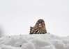 "<div class=""jaDesc""> <h4>Pine Siskin Feeding in Snow - January 13, 2018</h4> <p>This Pine Siskin was peeking above a pile of snow as she ate thistle seeds.</p> </div>"