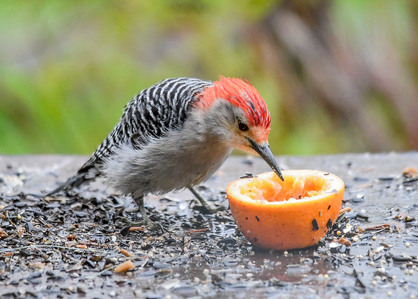 """<div class=""""jaDesc""""> <h4>Male Red-bellied Woodpecker Enjoying Grape Jelly and Orange - May 7, 2017</h4> <p>The Catbird and 4 Orioles got most of the grape jelly, but the Red-bellied Woodpecker was determined to get his share..</p> </div>"""