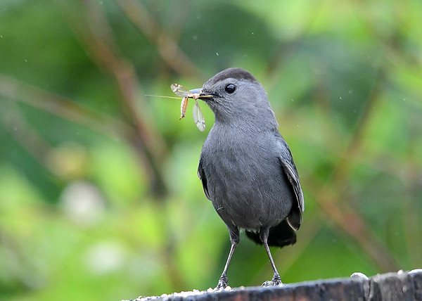"""<div class=""""jaDesc""""> <h4>Catbird Catches a Meal - June 6, 2018</h4> <p>This large insect will get shoved down the open beak of one of her chicks.  She stopped on the way to the nest to proudly show off her catch.</p> </div>"""