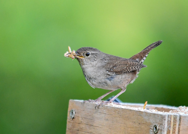 """<div class=""""jaDesc""""> <h4>Wren with Mealworms - June 23, 2018</h4> <p>I moved my portable mealworm box over near the nest to give Mom a break from having to search for bugs.</p> </div>"""
