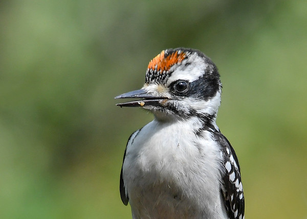 """<div class=""""jaDesc""""> <h4>Baby Hairy Woodpecker Close-up - June 30, 2017</h4> <p>I'd say this little guy's cuteness factor is a 10.</p></div>"""