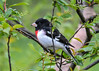 "<div class=""jaDesc""> <h4> Male Grosbeak in Black Cherry Tree - May 2, 2017</h4> <p>The cherries will be ripe on this tree in another few weeks.</p> </div>"