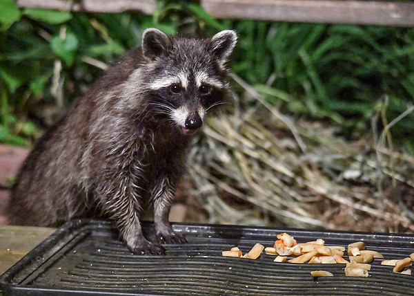 """<div class=""""jaDesc""""> <h4>Young Raccoon Licking Lips - June 16, 2018</h4> <p>I think this young Raccoon was pleasantly surprised to see what was on the tray.</p> </div>"""