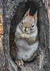 "<div class=""jaDesc""> <h4>Red Squirrel Holding Peanut to Munch - January 7, 2019 </h4> </div>"