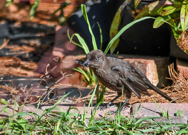 """<div class=""""jaDesc""""> <h4>Juvenile Grackle Plays with Feather - July 18, 2017</h4> <p>He picked the feather up, chomped on it, and moved it around in his beak.</p></div>"""