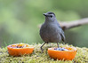 "<div class=""jaDesc""> <h4>Catbird - Hmm Which One? - May 2, 2017</h4> <p>This Catbird could not decide between jelly or no jelly.</p> </div>"