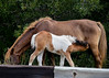 "<div class=""jaDesc""> <h4>Chincoteague Pony Foal Nursing - October 23, 2017</h4> <p>About once every 10 minutes, the foal would get some of mother's milk.</p> </div>"