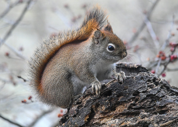 """<div class=""""jaDesc""""> <h4>Red Squirrel on Log - January 7, 2019 </h4>This cute little Red Squirrel was in a playful mood.  She was chasing the Starlings that were flying all around the feeder area. </div>"""