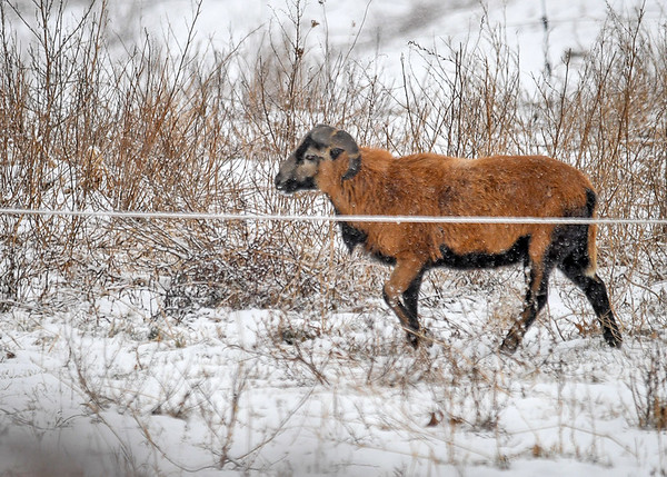 """<div class=""""jaDesc""""> <h4>Ram Running to Join Ewes - December 30, 2017</h4> <p>This Ram came running out of the barnyard to catch up with the Ewes.</p> </div>"""