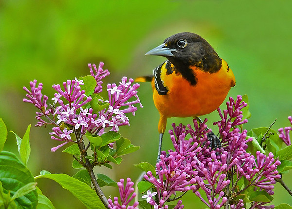 """<div class=""""jaDesc""""> <h4>Baltimore Oriole on Lilac - May 27, 2017</h4> <p>A colorful bird on a colorful bush; love it when that happens.</p> </div>"""