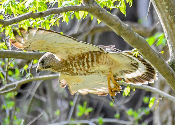 """<div class=""""jaDesc""""> <h4> Red-shouldered Hawk Airborne - April 30, 2017</h4> <p>He spread his wing and glided through the trees toward his next stop back across the road.</p> </div>"""