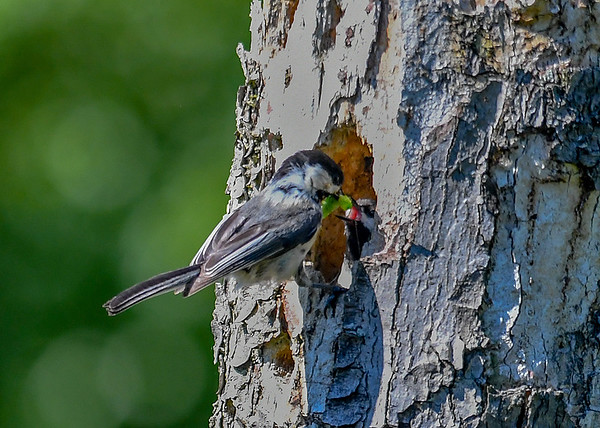 "<div class=""jaDesc""> <h4>Chickadee Feeding Juicy Caterpillar - June 3, 2018 </h4> <p>Looks like this ""chicklet"" is going to get the entire caterpillar.</p> </div>"