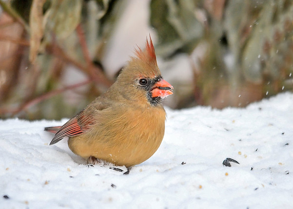 """<div class=""""jaDesc""""> <h4>Female Cardinal in Snow - Front View - December 14, 2017</h4> <p>It was blowing 20 MPH, so Mrs. Cardinal kept her legs covered with snow to shield against the wind chill.</p> </div>"""