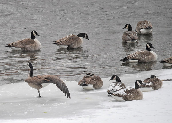 """<div class=""""jaDesc""""> <h4>Canada Goose Wing and Leg Stretch - December 30, 2017 </h4> <p>Part of a grooming session usually includes a wing and leg stretch on each side.  Susquehanna River, Nichols, NY</p> </div>"""