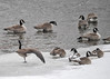 "<div class=""jaDesc""> <h4>Canada Goose Wing and Leg Stretch - December 30, 2017 </h4> <p>Part of a grooming session usually includes a wing and leg stretch on each side.  Susquehanna River, Nichols, NY</p> </div>"