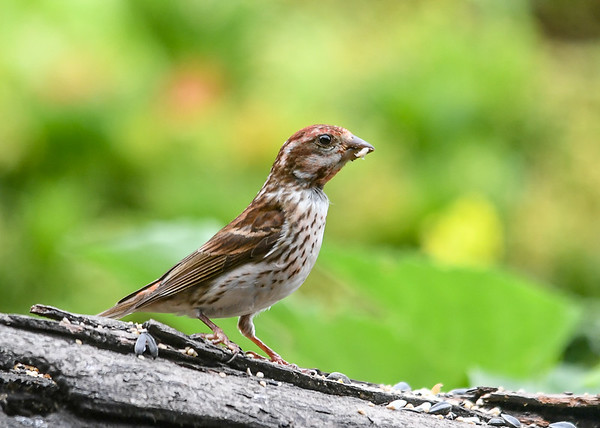 """<div class=""""jaDesc""""> <h4>Immature Female Purple Finch - Less Red - July 17, 2018</h4> <p>Third one from this year's nest.</p></div>"""