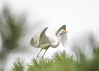 "<div class=""jaDesc""> <h4>Great Egret Wings Coming Forward for Take-off - October 23, 2017</h4> <p></p></div>"